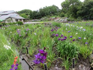 横須賀菖蒲園1